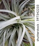 Small photo of Close up shot of Tillandsia pups, new plants forming at the base or middle of the plant. Air Plant