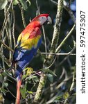 scarlet macaw perched on a... | Shutterstock . vector #597475307