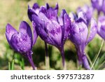 Beautiful Violet Crocus Flower...