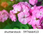 Pink Flower Of Geranium ...