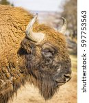 Small photo of American Bison in Profile