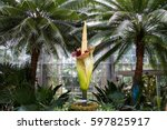 amorphophallus titanum known as ... | Shutterstock . vector #597825917