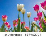 Dutch Pink And White Tulips...