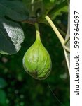 Small photo of Figs on the branch of a fig tree. Fig green unripe fruit
