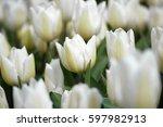 white tulips background   Shutterstock . vector #597982913