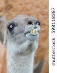 Small photo of Alpaca, brown ilama, funny animal