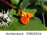 Touch Me Not Orange Jewelweed
