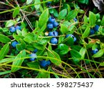 Wild Blueberries In A Canadian...