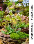 lady's slipper orchid....   Shutterstock . vector #598353383