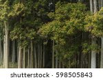 cedar full of pollen | Shutterstock . vector #598505843