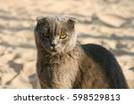 cat british lop eared  on the... | Shutterstock . vector #598529813