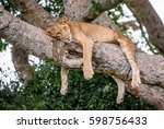 lioness lying on a big tree.... | Shutterstock . vector #598756433