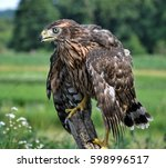 A Young Hawk Drooping Wings...