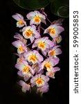 Wild Orchid Dendrobium Amabile...