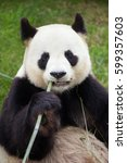 Small photo of Giant panda (Ailuropoda melanoleuca). Wildlife animal.