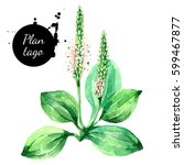 hand drawn watercolor plantago... | Shutterstock . vector #599467877