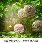 purple alium onion flower