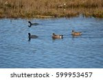 Small photo of American widgeon (brown) and scaup (black) ducks in the marshy waters of an ecological reserve
