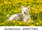 Stock photo puppy and kitten lying together on a dandelion field 600077063