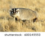 american badger | Shutterstock . vector #600145553