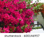 bougainvillea.blooming... | Shutterstock . vector #600146957