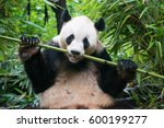 Chengdu Panda Eating Bamboo