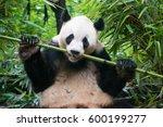 Chengdu Panda Eating Bamboo