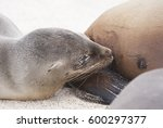 sea lion suckles | Shutterstock . vector #600297377