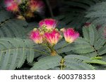 Pink Exotic Brush Flowers Of...