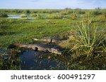 black caiman  argentina  ibera   Shutterstock . vector #600491297