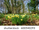 A Group Of Wild Daffodils ...