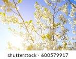 cherry blossom  japanese spring ... | Shutterstock . vector #600579917
