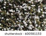Leptospermum Scoparium Also...