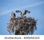 Female Osprey  Pandion...