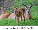 White Tail Deer Family With...
