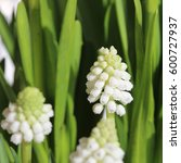 Muscari Armeniacum Album  ...