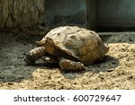 Giant Tortoise In Zoo Close Up...