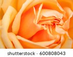 Soft Focus Light Orange Rose...