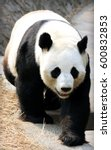 Small photo of Rare animals unique to China?Giant Panda(Ailuropoda melanoleuca)
