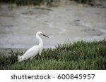 Snowy Egret Hunting In Sea...