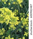 Small photo of Wildflower of Brassicaceae in spring