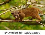 kinkajou  potos flavus  tropic... | Shutterstock . vector #600983093