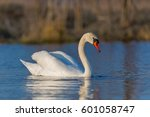 birds  mute swan  cygnus olor  | Shutterstock . vector #601058747
