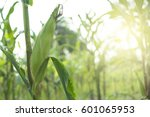 corn field in sunset. | Shutterstock . vector #601065953