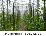 rows of  bean plants growing... | Shutterstock . vector #601242713