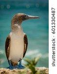 Small photo of Blue-footed booby in Isla de la plata, ecuador