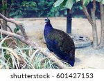 Small photo of Congo peafowl (Afropavo congensis) in Africa