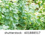 Small photo of Herbs plants, Aerva Lanata (L.) Juss. ex Schult., planted in the medicinal plants garden, in Thailand. Macro.