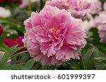 herbaceous peony  'sarah... | Shutterstock . vector #601999397