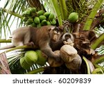 Monkey Pick Up A Coconut Nut...